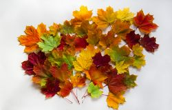 Leafs of maple Royalty Free Stock Images