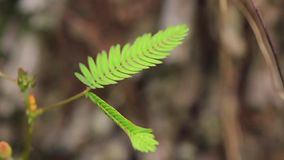 Leafs Mimosa pudica closes stock video