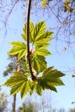 leafs nowy Obrazy Stock