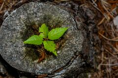 Free Leafs Of New Tree Growing Inside Stump Of Old Tree Royalty Free Stock Photo - 192310025
