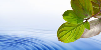 Leafs over water. Bright green and white leafs over rippled blue water Royalty Free Stock Image