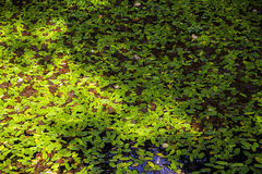 Leafs over water. Leaves over water in a backwater of the river Stock Photos