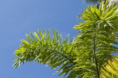 Leafs of palm tree Royalty Free Stock Image