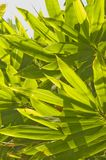 Leafs of palm tree Royalty Free Stock Photography