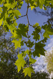 Leafs of a plane tree. Against the blue sky, Garden Terra Nostra in Furnas, Azores islands, Portugal Stock Photos