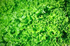 Leafs of a ripe green lettuce Stock Image