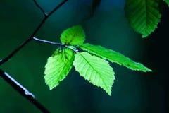 leafs skiner sunen royaltyfri fotografi