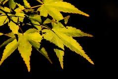 leafs spiczasty Zdjęcie Stock