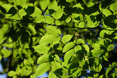 Leafs on tree Stock Photography