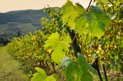 Leafs in a Vineyards in Chianti. Tuscany, Italy stock images