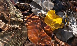 Leafs in water in autumn. Coloured leafs underwater in autumn, abstract light shining on the leafs Stock Image
