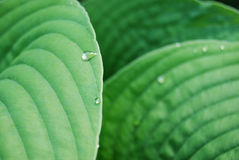 Leafs with waterdrops Stock Photography