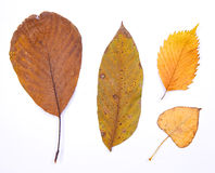 Leafs on white Royalty Free Stock Images