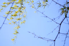 Leafs in the wind. Bamboo shoots against clear blue sky Stock Photo