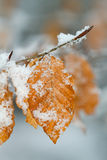 Leafs in winter Stock Image