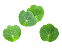 Leafs of young nasturtium Stock Photo