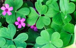 leafshamrock tre fotografering för bildbyråer