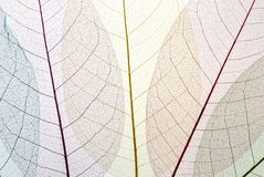 leafskelett Arkivfoto