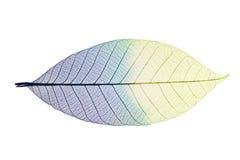 leafskelett Arkivbild