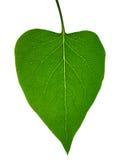 leafskelett Arkivfoton