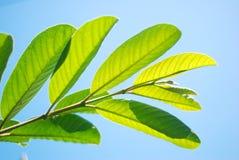 leafsky för blå green Arkivfoton