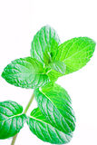 leafsmint royaltyfri bild