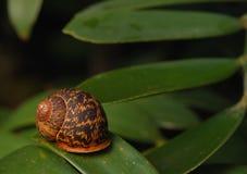 leafsnail Royaltyfria Foton