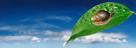leafsnail Royaltyfria Bilder
