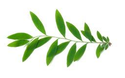 leafspirea Royaltyfri Foto