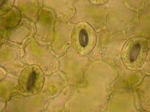 leafstomata