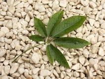 leafstonwhite Fotografering för Bildbyråer