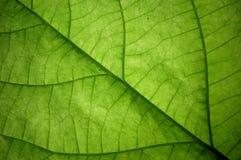 leafstruktur Royaltyfria Bilder
