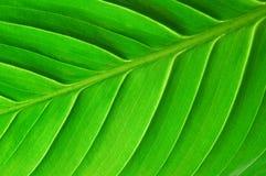 leafstruktur Arkivbilder