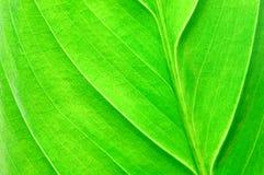 leafstruktur Fotografering för Bildbyråer