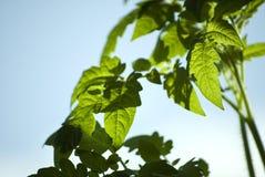 leafsväxttomat Royaltyfria Bilder