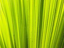 Leaft verde de la palma Imagen de archivo libre de regalías