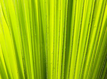 Leaft vert de paume Image libre de droits