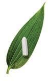 leaftampong Arkivbilder