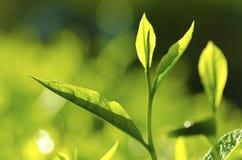 leaftea Royaltyfri Foto