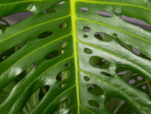 leafväxt Royaltyfria Bilder