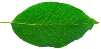 leafvalnöt Royaltyfria Bilder