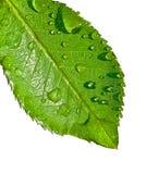 leafvatten Arkivbild