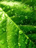 leafvatten för 06 droppe Royaltyfri Fotografi