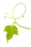 leafvine arkivbilder