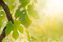 leafvine Royaltyfri Fotografi