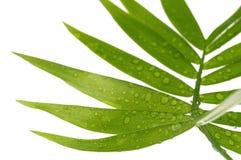 leafwhite Fotografering för Bildbyråer
