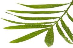 leafwhite Arkivbilder