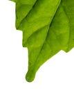 leafwhite Royaltyfri Bild