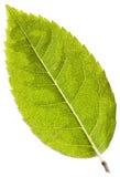 leafwhite Royaltyfria Bilder