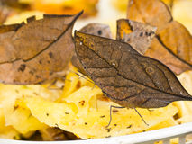 leafwing蝴蝶的印地安人 免版税库存照片